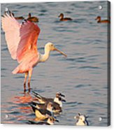 Roseate Spoonbill At The Bay Acrylic Print