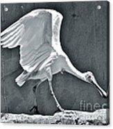 Roseate Spoonbill Landing Acrylic Print