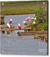 Roseate Spoonbills And Snowy Egrets Acrylic Print