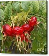 Rosehips Acrylic Print