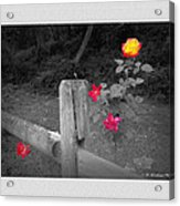 Roses And Fence Acrylic Print