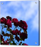 Roses In The Sky Acrylic Print