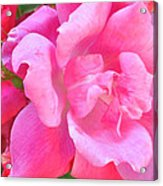 Roses Perfectly Pink Acrylic Print