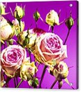 Roses (rosa Sp.) Acrylic Print