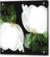 Roses Roses Acrylic Print