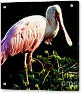 Rosette Spoonbill Shimmering Acrylic Print