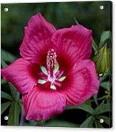 Rosey Blossom Acrylic Print