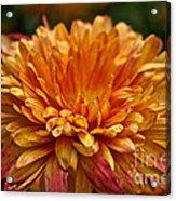 Rosey Glow Mum Acrylic Print