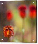 Rosso Beauties Acrylic Print