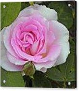 Rosy Acrylic Print