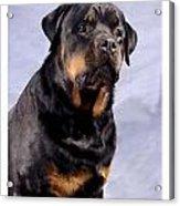 Rottweiler 2025 Acrylic Print