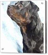 Rottweiler 923 Acrylic Print