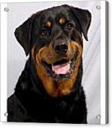 Rottweiler 96 Acrylic Print