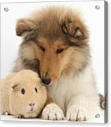 Rough Collie Pup And Yellow Guinea Pig Acrylic Print