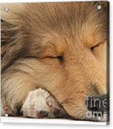 Rough Collie Pup Acrylic Print