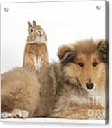 Rough Collie Pup With Sandy Netherland Acrylic Print
