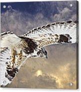 Rough Legged Hawk In Flight Acrylic Print