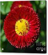 Round Red Flower Acrylic Print