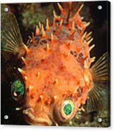 Rounded Porcupine Fish Acrylic Print by Nature Source