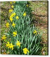 Row Of Daffodils Acrylic Print