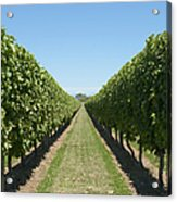 Row Of Grapevines In Vineyard Acrylic Print by Dave & Les Jacobs