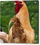 Royal Golden Rooster 1 Acrylic Print