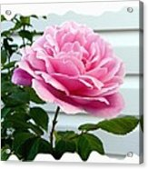 Royal Kate Rose Acrylic Print