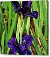 Royal Purple Iris Acrylic Print
