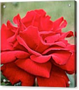 Royal Red Rose Acrylic Print