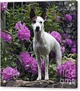Ruby In The Garden Acrylic Print