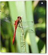 Ruby Meadowhawk Dragonfly Acrylic Print