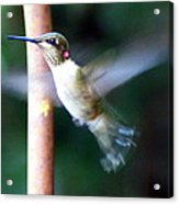 Ruby Throated Hummer In Flight Acrylic Print