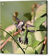 Ruby-throated Hummingbird - An Altercation Acrylic Print