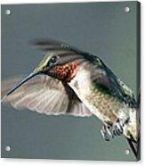 Ruby-throated Hummingbird - Hover Acrylic Print