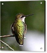 Ruby-throated Hummingbird - Hummingbird - Content Acrylic Print