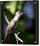 Ruby-throated Hummingbird - Just Beautiful Acrylic Print