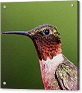 Ruby-throated Hummingbird - Macho Man Acrylic Print