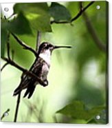 Ruby-throated Hummingbird - Shade Acrylic Print
