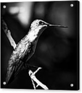 Ruby-throated Hummingbird - Signature Acrylic Print
