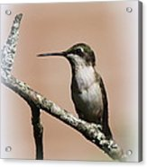 Ruby-throated Hummingbird - Totally Innocent Acrylic Print