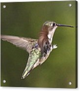 Ruby-throated Hummingbird - Twirling Acrylic Print