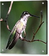 Ruby-throated Hummingbird - Hanging Low Acrylic Print
