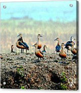 Ruddy Shelducks Acrylic Print