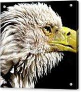 Ruffled Bald Eagle Acrylic Print