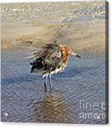 Ruffled Reddish Egret  Acrylic Print