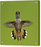 Rufous Hummingbird Selasphorus Rufus Acrylic Print