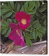 Rugosa Rose And Driftwood Acrylic Print