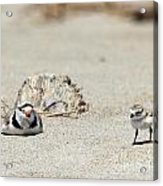 Run Little One  Piping Plover Acrylic Print