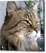 Runcius- My King Kitty Enjoying The Sunshine Acrylic Print