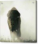 Running Bison Kicking Up Dust Acrylic Print